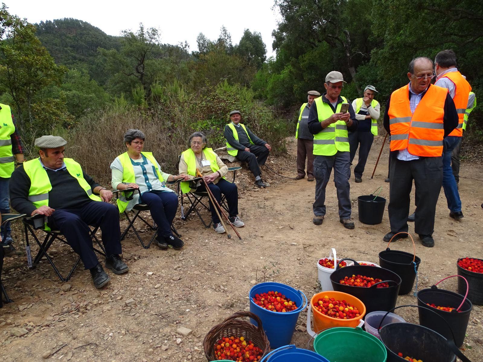 Monchique | Preservar a tradição da apanha do medronho